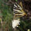 Podalirio (Scarce swallowtail)