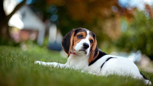 Beagle Pack 3 Live Wallpaper