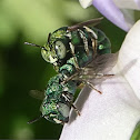 Dwarf Carpenter Bee