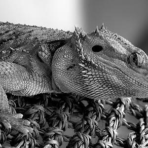 Bearded Dragon Tucson4 Vib bw.jpg