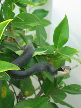 Photo: SNAKES ON A SHRUBBERY!