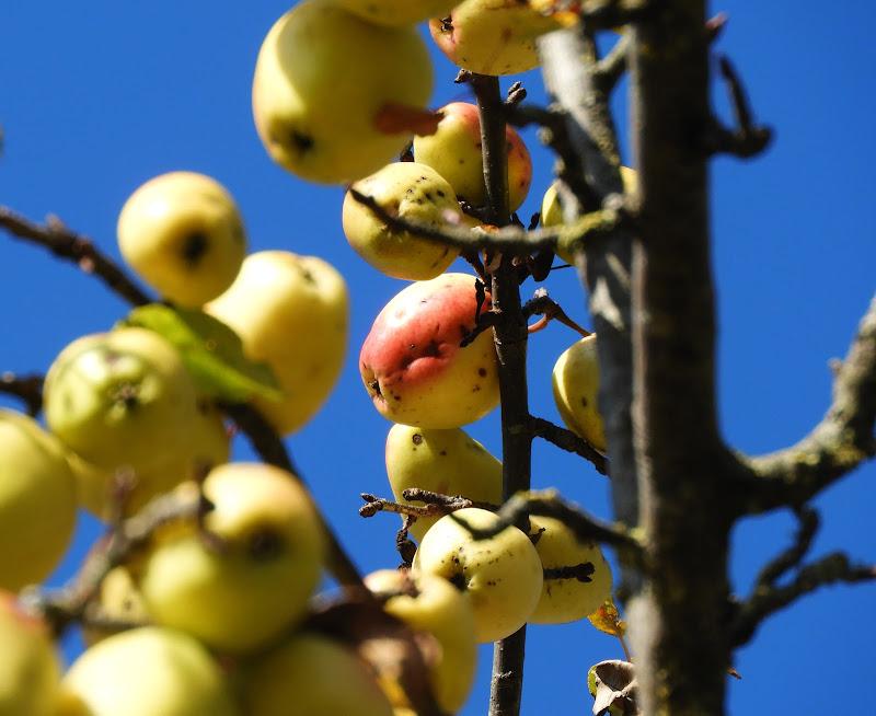 Apples di omeostasi