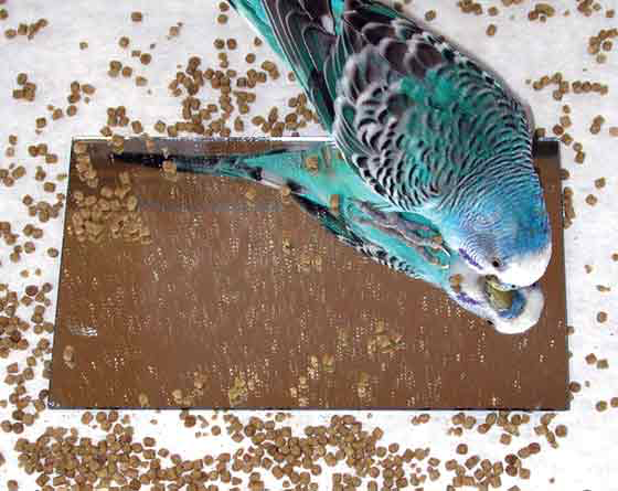 Weaning a budgerigar to a formulated diet often is easier using a mirror. Seed diets are the major cause of illness in pet birds