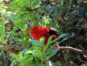 Photo: I'iwi, one of Hawaii's best-known and plentiful native honeycreepers. These native species are on the decline, most species dangerously so. This species is pronounced ee-EE-vee.