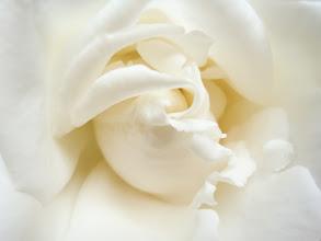 Photo: White rose