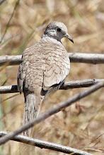 Photo: Inca Dove
