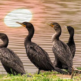 Birds by Scott Thomas - Animals Birds ( #reflection, #nature, #birds, #black, #water,  )