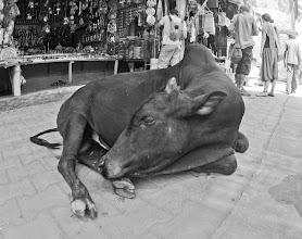 Photo: shanti cow