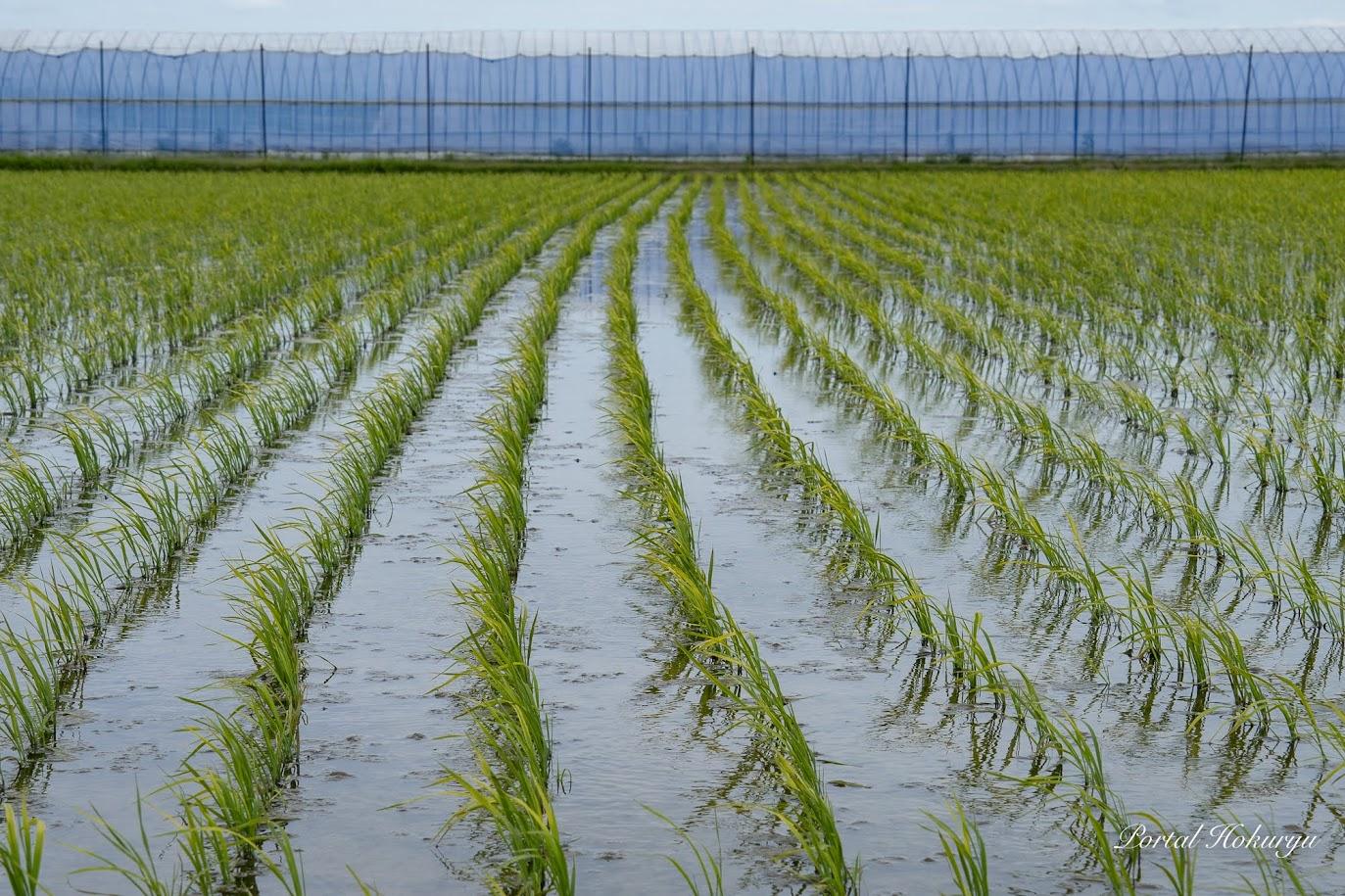 初夏の風になびく稲たち