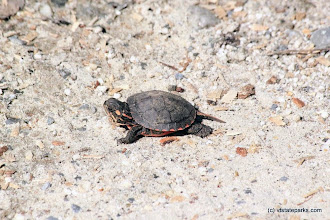Photo: Baby painted turtle at Ricker Pond State Park by Dave Jalbert
