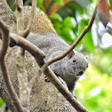 pallas's Squirrel / Red-Bellied Tree Squirrel