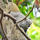 pallas's Squirrel / Red-Bellied Tree Squirrel