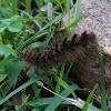 Caterpillar Erebidae