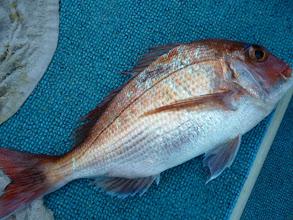 Photo: ああー!真鯛が噛みつかれているー! 真鯛に大きい魚が食らいついてきたんでしょうね!・・・んー!気になる。