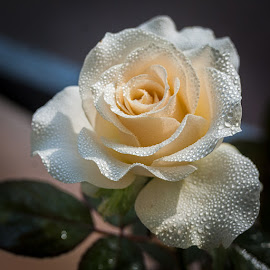 White Rose by Gunbir Singh - Flowers Single Flower ( rose, dew drops on rose, single, white rose, dew, white, dew on white rose, dew drops, gunbir, nikon, nature upclose, flower )