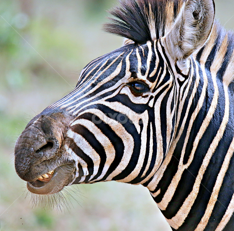 Zebra Stallion Portrait by Pieter J de Villiers - Animals Other ( stallion, mammals, animals, zebra stallion, zebra, portrait )