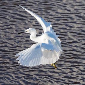 Little egret in flight by Sean Kirkhouse - Animals Birds