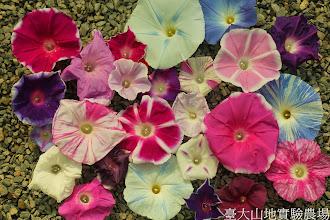 Photo: 拍攝地點: 春陽-可愛植物區 拍攝植物: 朝顏(牽牛花) 拍攝日期: 2014_07_03_FY