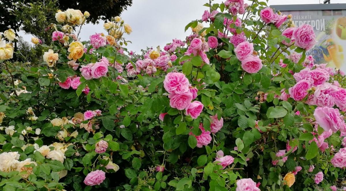 保加利亞首都索菲亞市中心的路邊盛開玫瑰