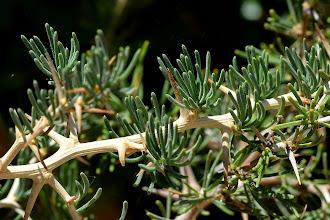 Photo: Asparagus albus