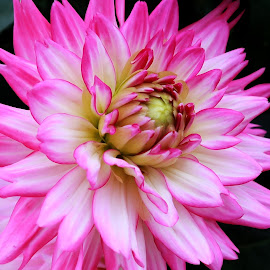 Summer Dahlia by Millieanne T - Flowers Single Flower