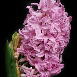 Pretty in Pink by Joanne Calderbank  - Flowers Flower Buds ( pink white, leaves, buds, hyacinth, flower )