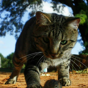 Cat & Mouse Chase by Christil-Photography Bloemfontein - Animals - Cats Playing ( mouse, cat, hunt, chase )