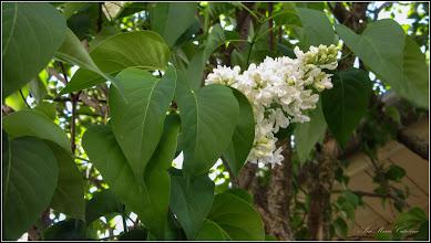 Photo: Liliac  (Syringa vulgaris) - Turda.  Str. Tranzbordarii - 2019.04.28