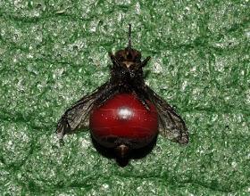 Photo: tse-tse fly full of my blood