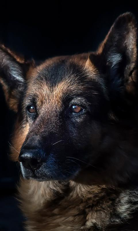 german shepherd wallpaper android apps on google play