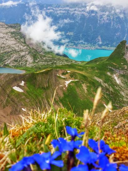 Blue wildflowers seen in the Alps overlooking the Interlaken region in Switzerland.