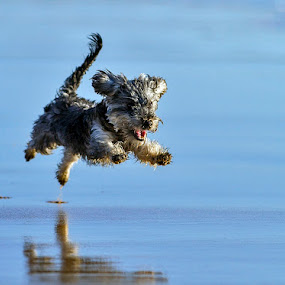 learning to fly by António Leão de Sousa - Animals - Dogs Running ( natural light, playful, jumping, joy, run, cute, running, natural background, playing, flying, adorable dogs, nature, action, animal, water, moving, animalia, play, charging, young, portrait, jump, canine, joyful, animal kingdom, pet, zoology, dog, companion dog, natural, , #GARYFONGPETS, #SHOWUSYOURPETS )
