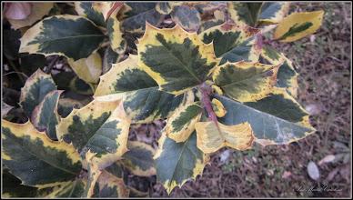 Photo: Laur (Ilex aquifolium variegata) - de pe Calea Victoriei, Mr.2 - 2017.02.21
