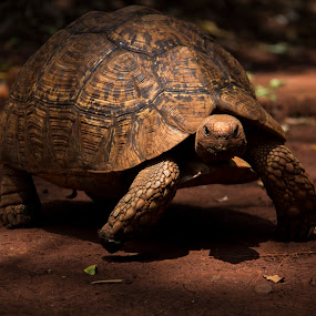 on my way by Francois Larocque - Animals Reptiles ( look, tortoise, kenya, slow, reptile )