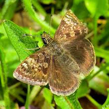 Photo: Dingy Skipper (Erynnis tages)  A lifer butterfly which I saw yesterday! :-)  (Lifer means a new species seen for the first time)  #butterflies  #skippers  for#hqspmacro +HQSP Macro curated by +Chandro Ji +Terrie Gray +Sandrine Berjonneau +Didier Caron and for +On the Wings of Butterflies!curated by +Sharon Jeannette #onthewingsofbutterflies