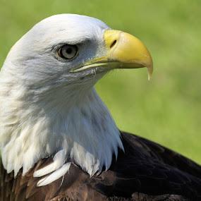 Eagle Profile by Becky McGuire - Animals Birds ( eagle, freedom, symbol, becky mcguire, majestic, prey, us, eagles, united states, bird, inspiring, minnesota, free, tvlgoddess, nature, bloomington, fly, patriotic, beak, raptor, inspire, inspirational,  )