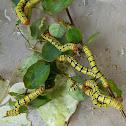 Snowbush Spanworm Caterpillar