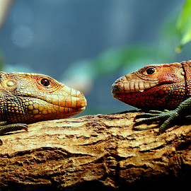 Face à face by Gérard CHATENET - Animals Reptiles