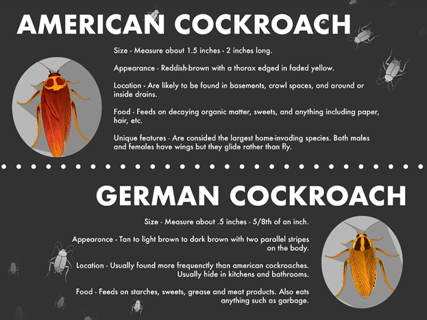 American vs. German cockroach