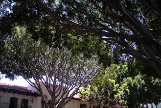 Photo: Ficus trees with extremely thin canopies, Santa Barbara, CA. 2012.
