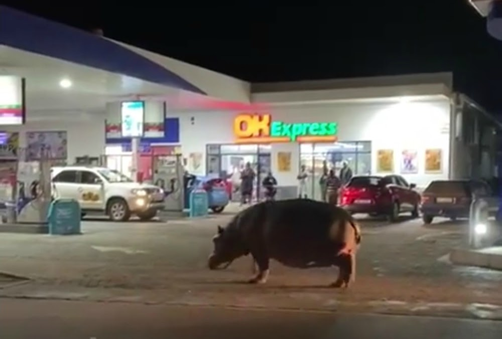 WATCH | Hippo drops in at St Lucia service station for a quick graze - TimesLIVE