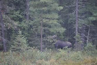 Photo: Zum Abschied vom Algongue ein Moose (Elch)