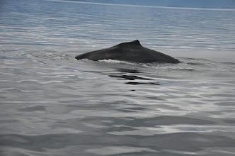 Photo: Humpback whale, Icy Point, Alaska