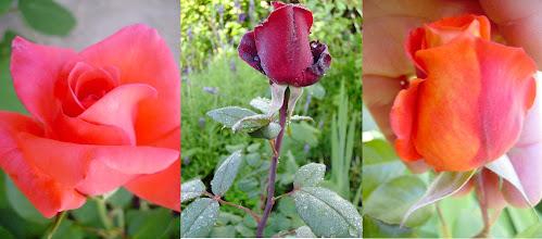 Photo: rosas