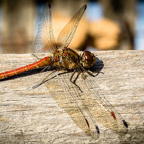dragonfly 3 by Gabi Radoi - Animals Insects & Spiders ( clear, blur, insect, dragonfly, close up )