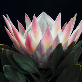 King Protea by Martha van der Westhuizen - Flowers Single Flower ( single, nature, flora, wildflower, protea, king protea )