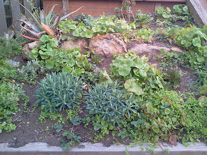 Photo: Succulents, native California plants, and other additions to the gardens were thriving at the top of the Hidden Garden Steps gardens (16th Avenue, between Kirkham and Lawton streets in San Francisco's Inner Sunset District) in early spring 2014. New and returning volunteers are welcome to join volunteer-driven community-based gardening and clean-up efforts on the second Saturday of each month from 1- 3 pm.   For more information about the Steps and the 148-step ceramic-tile mosaic completed by project artists Aileen Barr and Colette Crutcher, please visit our website (http://hiddengardensteps.org), view links about the project from our Scoopit! site (http://www.scoop.it/t/hidden-garden-steps), or follow our social media presence on Twitter (https://twitter.com/GardenSteps), Facebook (https://www.facebook.com/pages/Hidden-Garden-Steps/288064457924739) and many others.