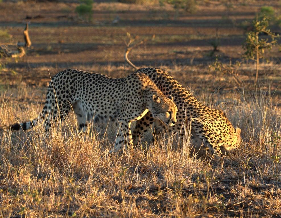 cheetahs (Copy).jpg