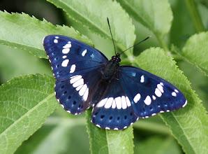 Photo: Limenitis reducta  Lepidoptera Nymphalidae