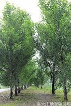 Photo: 拍攝地點: 梅峰-一平臺 拍攝植物: 白楊 拍攝日期: 2014_05_27_FY